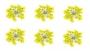 DILLBLÜTEN GELB Trockenblumen Dried Flowers Yellow